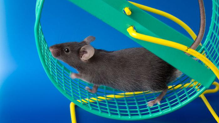 Chuột tập thể dục